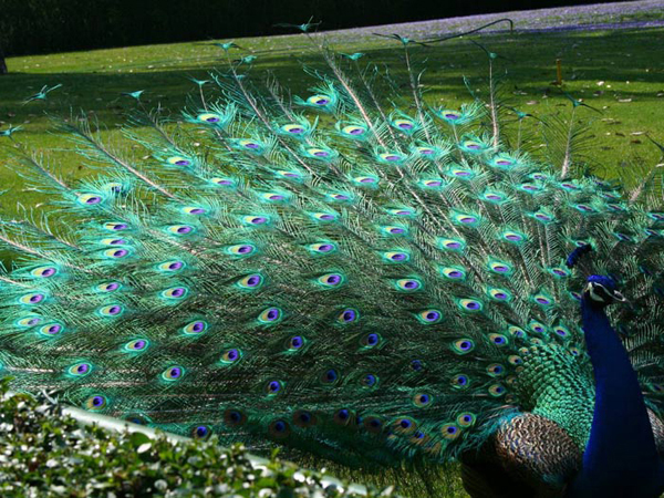 The Symbolism Of The Peacock By Elaine Jordan