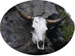 cowhead cabeza de vaca